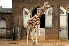 Giraffa (ilnobilearbitro) Tags: giraffa