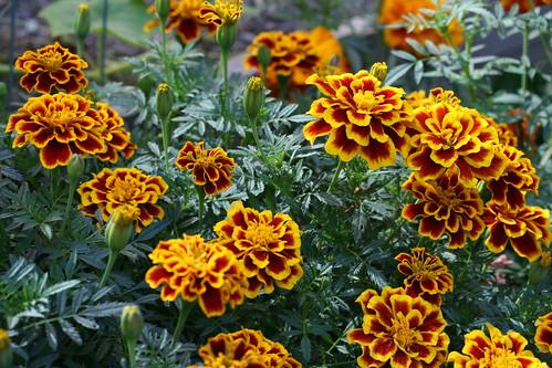 marigolds Fireball