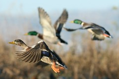 ducks in flight (Mr. Bilal) Tags: birds northerncalifornia ducks birdsinflight mallards coyotehillsregionalpark eosdigitalrebelxti ef300mmf4lisusm ebparks