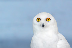 White ghost (Ralf Nowak) Tags: ontario canada bird nature birds animal fauna nikon snowy centre sigma explore raptor owl captive birdofprey tottenham falconry bubo snowyowl ptak d300 ptaki sowa sigmalens buboscandiacus scandiacus sowy niena thefalconrycentre nikond300 sowaniena