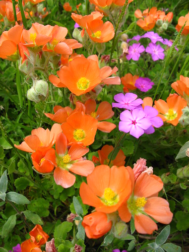 Orange Globe Mallow (Sphaeralcea munroana) and Pointed Phlox (Phlox cuspidata) Wildflowers