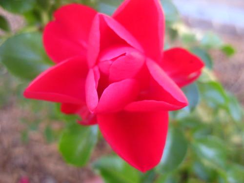 Red flower Belconnen