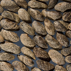 Phebalium daviesii seed (iii)
