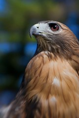 Broadwinged Hawk (Cameratown) Tags: lenbaby hawk wildlife canoneosrebelxti