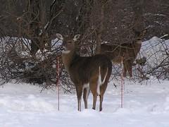 dec 2008 006 (loomissherry) Tags: white tail deer dec2008