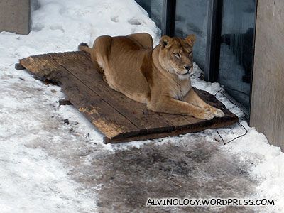 Arctic Lion