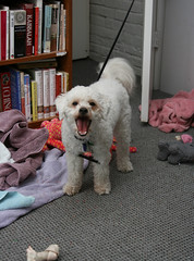 "Dinky says, ""NO!"" (Graustark) Tags: dog dinky ratapoo ratterrierpoodlemix"