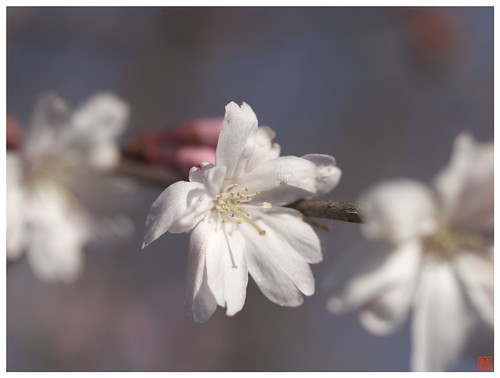 Cherry blossoms 090315 #03