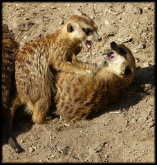 Sharp Teeth (rene1956 (Burning the Midnight Lamp)) Tags: hips rhenen meerkats sharpteeth ouwehandszoo