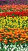 Flower Festival (hk_traveller) Tags: china trip travel pink red vacation orange white flower color green yellow festival canon hongkong photo interestingness interesting asia purple hong kong explore turbo 香港 2009 sx1 中國 183 douban top500 i500 interestingness183 turbophoto 香港花卉展覽 canonpowershotsx1is