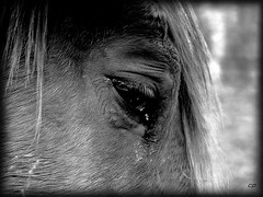 (kate053) Tags: horses bw horse eye cheval blackwhite eyes nb oeil yeux chevaux noirblanc larme quitation crin vosplusbellesphotos