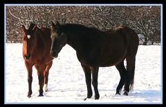 Pferde auf der Solitude - festgefroren ? (roba66) Tags: horses horse animal animals cheval tiere pferde tier chevaux flickrbestpics travelsofhomerodyssey