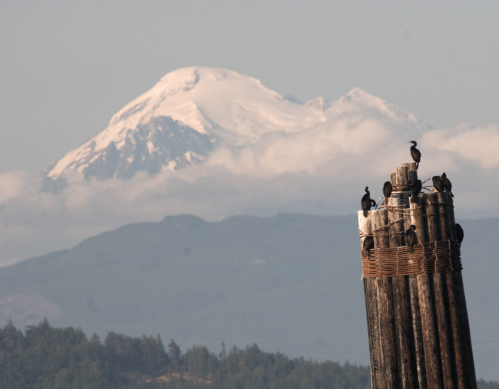 Cormorants & Mount Baker