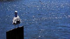 vueling to Malta! (bNat!) Tags: sf sanfrancisco california ca blue sea sky usa sun sol fog azul bay pier muelle mar us flying cu unitedstates seagull gull lion cel leon eua cielo bahia pier39 sealion blau ustrip gaviota 39 niebla badia coast2coast foca moll estadosunidos eeuu imback gavina boira morsa leonmarino hastalavista vueling lleo lleomari cityoflove cityoffreedom  cityofpeace estatsunits 4thstop hippiehome sanpaco sanfranciscospremierbayatraction mevoyvolando deviatgeunasetmanetad deviajeunasemanitad oneweektripd tomaltad