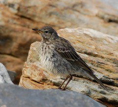 Rock Pipit (Anthus petrosus) (Gaz-zee-boh) Tags: ireland beach nature seaside wildlife seashore ornithology coclare rockpipit anthuspetrosus featheryfriday nikond40 almostanything liscannorbay