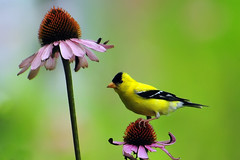 American Goldfinch and Echinacea (ozoni11) Tags: flowers flower bird nature birds gardens garden petals interestingness nikon coneflowers blossom echinacea bokeh goldfinch blossoms 15 petal explore coneflower americangoldfinch carduelistristis goldfinches columbiamaryland d300 interestingness15 i500 explore15 michaeloberman ozoni11
