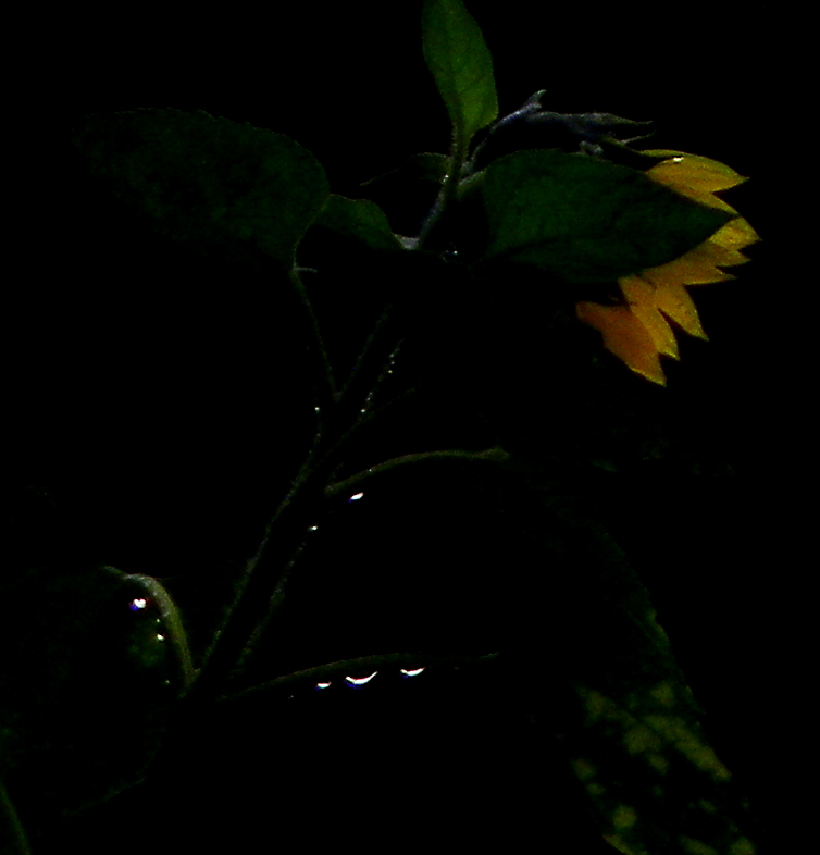 Weeping Sunflower