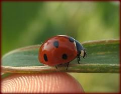 (myonna) Tags: alex ladybug rosu anotherme negru gargarita porumb tecuci buline