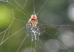 big red up close (christiaan_25) Tags: red summer female forest spider woods bokeh web arachnid spiderweb engineering suspended arachnida orbweaver mortonarboretum araneae araneidae araneomorphae arrowheadspider verrucosaarenata truespider entelegynes triangleorbweaver