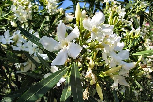 Nerium oleander (rq) - 03