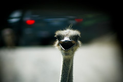 Ostrich (AL-SHATTi) Tags: bridge usa bird birds animal animals zoo flickr natural aeroplane ostrich roanoke kuwait  ostrichs    alshatti    engalshatti