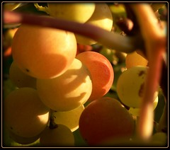 Weintraube am Morgen - wine in the morning (NPP-publik_oberberg) Tags: morning light sun plant art nature fruit germany wine creative oberberg wein platinumphoto platinumheartaward