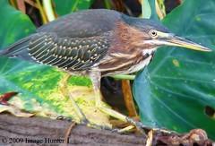 Green Heron (Image Hunter 1) Tags: nature birds louisiana bayou bayoucourtableau birdslouisianaswamp