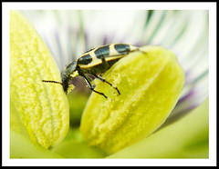 Darned Beetle Feasting on my Flower (AnnuskA  - AnnA Theodora) Tags: white black macro green colors yellow bug insect purple feeding bokeh details beetle violet passiflora pollen passionfruitflower vaquinha poln supereco