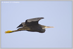 -  (Ahmed K) Tags: sea bird heron nature birds canon 400 western mm reef  egretta   50d gularis