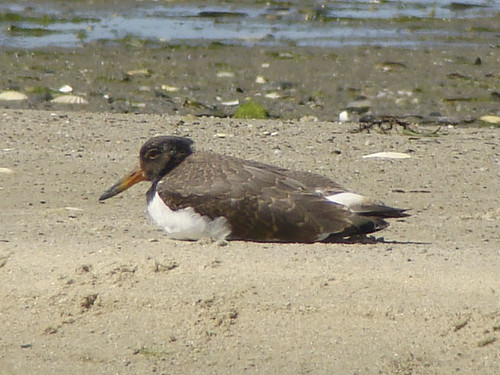 young oystercatcher