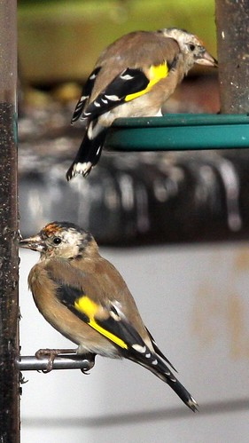 Juvenile Goldfinches