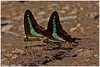 Butterfly feast!! (Naseer Ommer) Tags: canon butterfly lepidoptera westernghats graphium butterflyindia sarpedon graphiumsarpedon canon100mm commonbluebottle sholayar naseerommer canoneos40d canon300mm concordians mudpudling