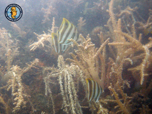 Kite butterflyfishes