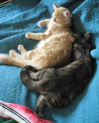 Zippy & Man (elycefeliz) Tags: sleeping cats kittens gatos zippy viva katzen man