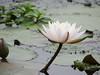 "睡蓮 Water lily (ddsnet) Tags: plant flower waterlily sony cybershot aquatic 花 aquaticplants 植物 水生植物 睡蓮 花卉 cybershor 子午蓮 lily"" ""water ヒツジグサ tetragona ""water 瑞蓮 未草 lily"" nymphaeatetragona 水芹花 水洋花 小蓮花 ""nymphaea plants"" hx100v ""aquatic ""nymphaea tetragona"" plantsnymphaea tetragona"""