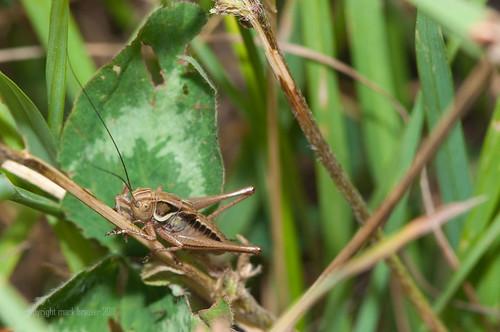 cricketsml