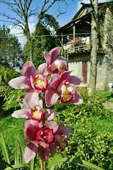 Hoa Lan / Orchid, Sa Pa (vnkht) Tags: pink white orchid flower yellow garden lumix flora raw purple vietnam hdr sapa laocai hoa 2011 vitnam hoalan lx5 locai hmrng dragonsjaw nihmrng dragonsjawmountain khudulchhmrng gavinkwhite