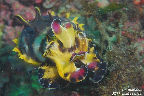 火焰花枝 - Flamboyant Cuttlefish(5)
