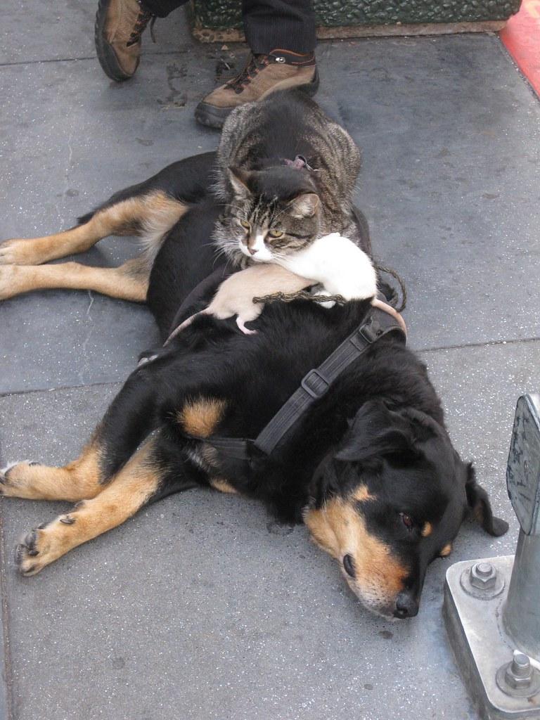 2 Rats, 1 Cat, 1 Flat dog