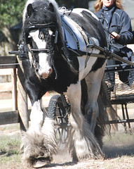 Gypsy drive (The Pelton Vanners Gypsy Vanner Horses) Tags: horse gypsyvanner gypsyhorse