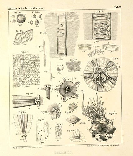 Anatomie des Echinodermes e