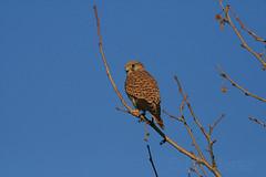 Maccarese - Sparrow Hawk - Gheppio (Landersz) Tags: nature natura excellent sparrowhawk maccarese gheppio mywinners