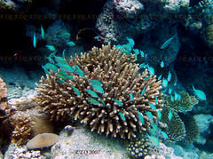langkawi (A.T.Q * In UK) Tags: fish color al diving sae fourseasonsresort malaysia sep langkawi thani sept 07   doha qatar   kedahdarulaman     atq 100commentgroup   jalantanjungrhu 07000langkawi malaysia