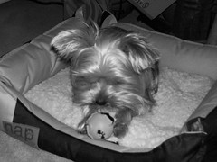 148 (dadootdoots) Tags: family pets dogs photography yorkies friendsbabies