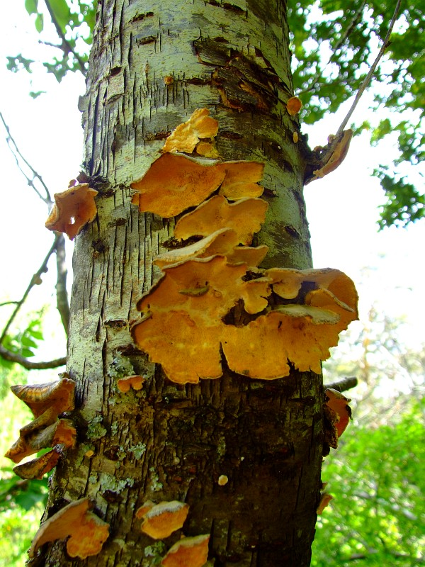 tree-fungus
