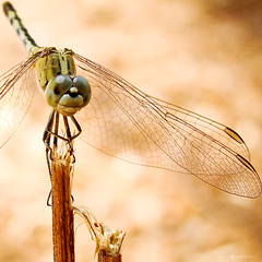 Gripped.... (Anish Krishnan [anishk.in]) Tags: macro fly flickr dragon sony grip h7 cyvershot macrolife