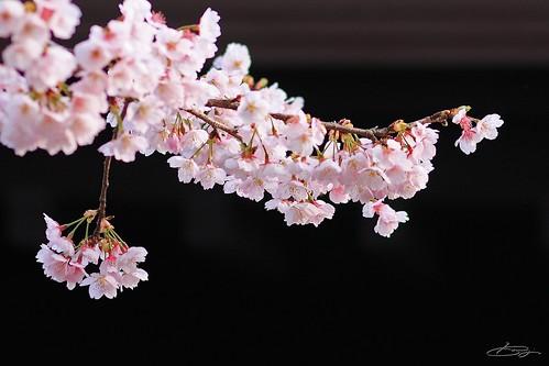 早咲きとしては、濃くないピンク。。。