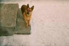 18: dog (razbarabanilo) Tags: travel winter dog snow film animals stairs 35mm russia suzdal holga135