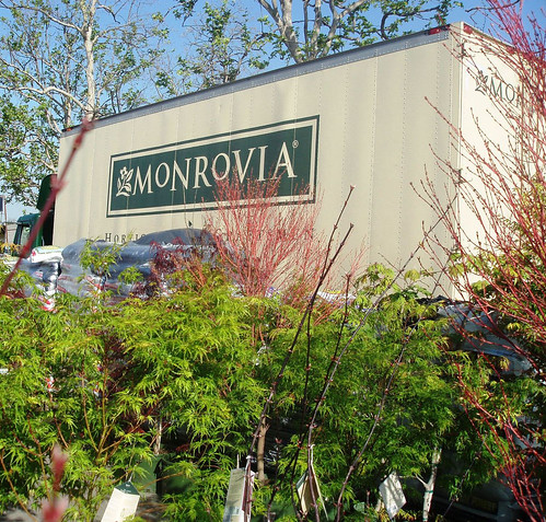Monrovia Growers Japanese Maples