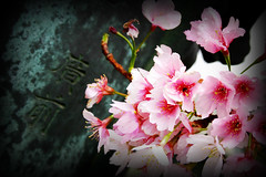 """Sakura"" Japanese Cherry Blossom, Ueno Park, Tokyo, Japan."